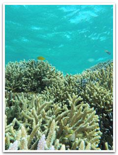 枝サンゴとエメラルドの海中